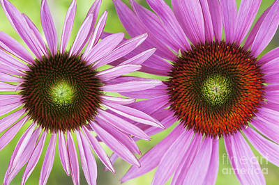 Echinacea Purpurea Rubinglow Pattern Art Print by Tim Gainey