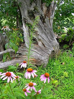 Photograph - Echinacea Stumpage by Randy Rosenberger