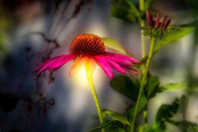 Echinacea Sunrise Art Print by Bob Orsillo