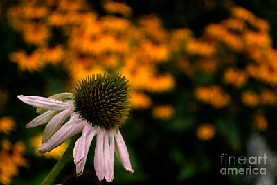 Photograph - Echinacea Vignette by Scott Lyons