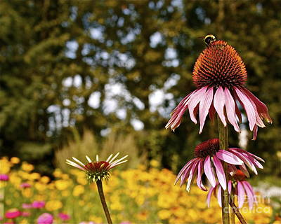 Art Print featuring the photograph Echinacea With Bee by Linda Bianic