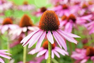 Cone Flowers Photograph - Echinacea by Wladimir Bulgar