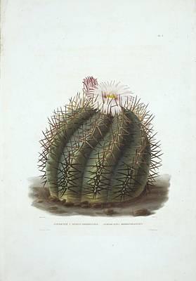 Devils Head Photograph - Echinocactus Horizonthalonius Cactus by Science Photo Library