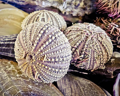 Photograph - Echinoderm  by Colleen Kammerer