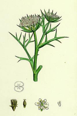 Prickly Drawing - Echinophora Spinosa Sea Prickly-samphire by English School