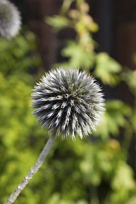 Photograph - Echinops by Ian Mitchell