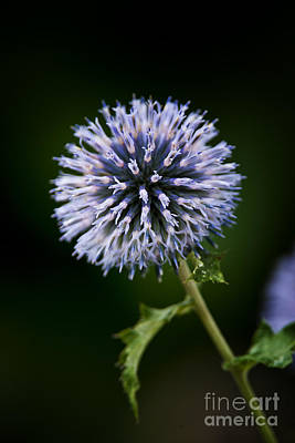 Mistletoe - Echinops Pictures 4 by World Wildlife Photography