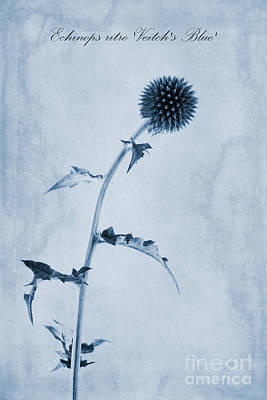Echinops Ritro 'veitch's Blue' Cyanotype Art Print by John Edwards