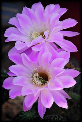 Echinopsis Aurea Art Print