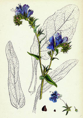 Viper Drawing - Echium Plantagineum Purple Vipers-bugloss by English School