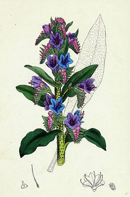 Viper Drawing - Echium Vulgare Common Vipers-bugloss by English School