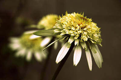 Cone Flowers Photograph - Echo by Jessica Jenney