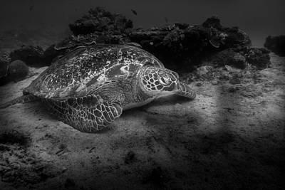Pop Art Rights Managed Images - Echte Karettschildkroete - Eretmochelys imbricata - Hawksbill Sea Turtle Royalty-Free Image by Colin Utz