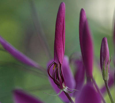 Cleome Photograph - Ecstasy by Connie Handscomb