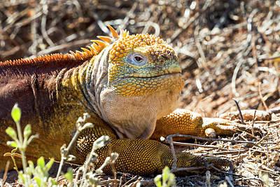 Land Iguana Photograph - Ecuador, Galapagos Island, Santa Cruz by Ellen Goff