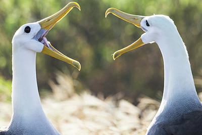 Albatross Wall Art - Photograph - Ecuador, Galapagos Islands, Espanola by Ellen Goff