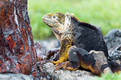 Land Iguana Photograph - Ecuador, Galapagos Islands, Plaza Sur by Ellen Goff