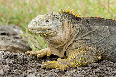 Land Iguana Photograph - Ecuador, Galapagos, South Plaza Island by Cindy Miller Hopkins