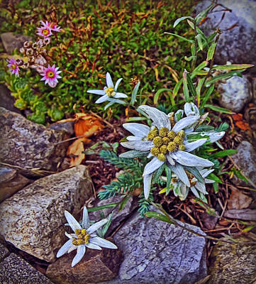 Photograph - Edelweiss by Hanny Heim