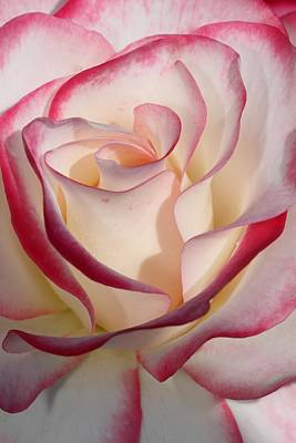 Photograph - Edged Rose by Mike Farslow