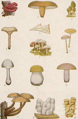 Edible American Mushrooms Art Print