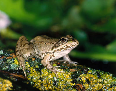 Frogs Photograph - Edible Frog by Norbert Pelka
