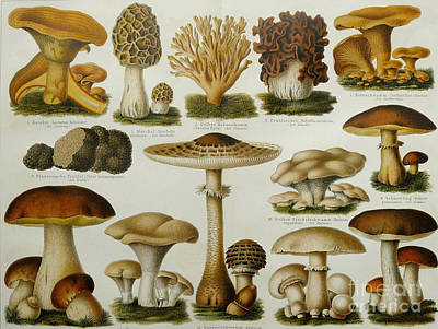 Morel Photograph - Edible Mushrooms by Science Source
