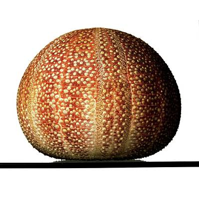 Echinoderm Photograph - Edible Sea Urchin Specimen by Ucl, Grant Museum Of Zoology