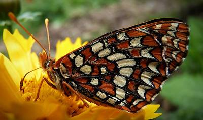 Art Print featuring the photograph Edith Checkerspot by Julia Hassett