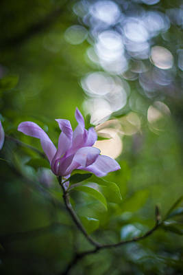 Rhododendron Photograph - Effervescent Magnolia by Mike Reid