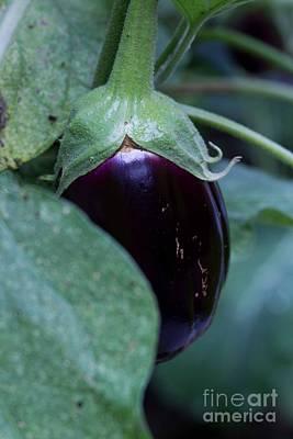 Photograph - Eggplant by Sandra Clark