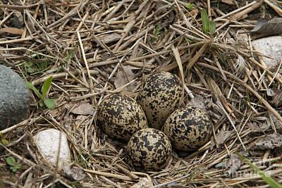 Killdeer Wall Art - Photograph - Eggs In Killdeer Nest by Linda Freshwaters Arndt