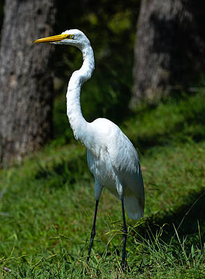 Photograph - Egret - Full Length by John Johnson