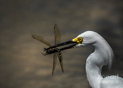 Egret And Dragonfly Art Print by Robert Frederick