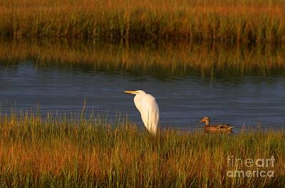 Egret And Duck Art Print by David Bishop