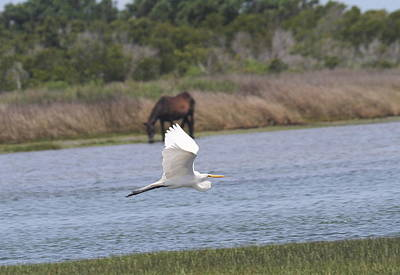 Egret And Shackleford Pony Art Print by Cathy Lindsey