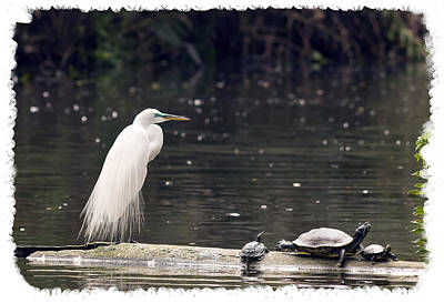 Egret And Turtles Art Print