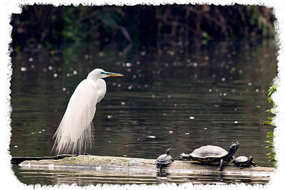 Photograph - Egret And Turtles by Gene Norris
