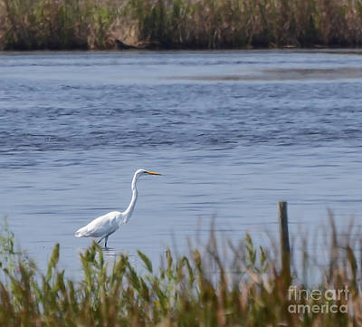 Photograph - Egret At Blackwater Nwr by Kerri Farley