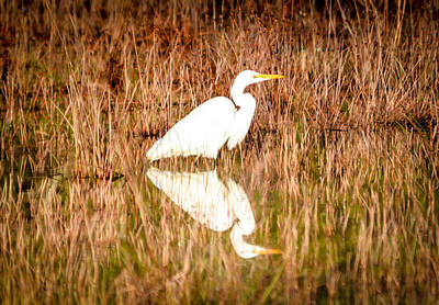Photograph - Egret Basking In The Morning Sun by Shey Stitt