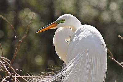 Photograph - Egret Beauty by Jessica Brown