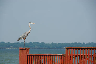 Photograph - Egret by Charles Beeler