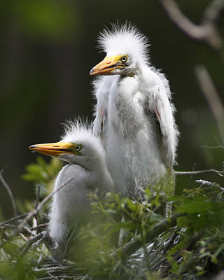 Egret Chicks 8x10 Art Print