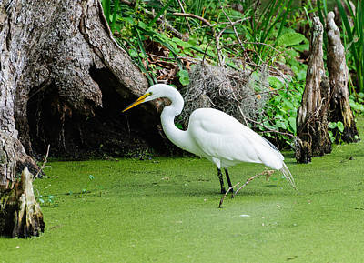Photograph - Egret Fishing by John Johnson