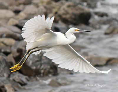 Photograph - Egret Flight by Deborah Hughes