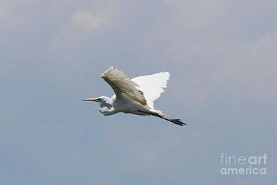 Beak Photograph - Egret Flying 3 by Cathy Lindsey