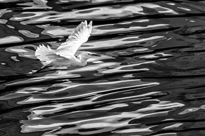 Egret Flying  Art Print