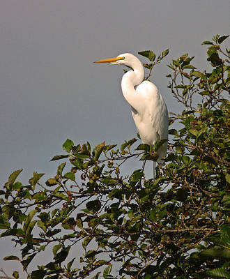 Photograph - Egret Guard  by Gracia  Molloy