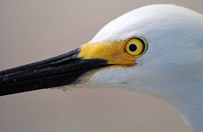 Photograph - Egret Head Shot by John Hintz