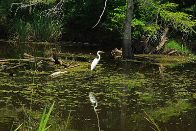 Photograph - Egret In Atchafalaya Swamp by Ronald Olivier